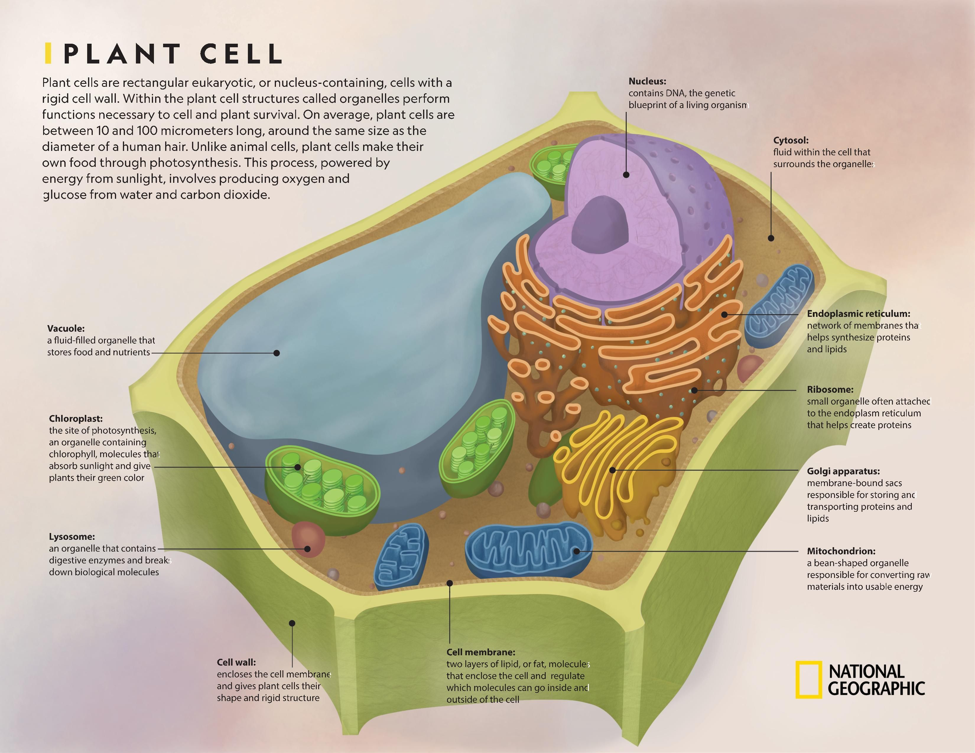 Comparing Plant And Animal Cells National Geographic Society