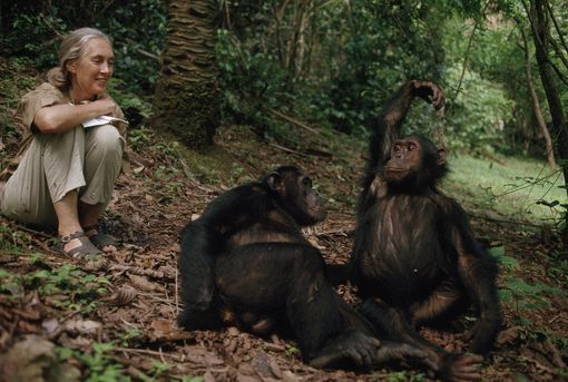Jane Goodall observes chimps