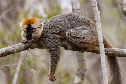 Brown Lemur resting in a tree
