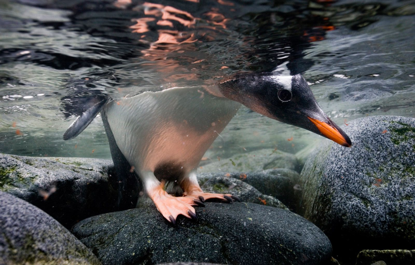 paul nicklen polar obsession national geographic society