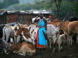 The Cattle Economy of the Maasai