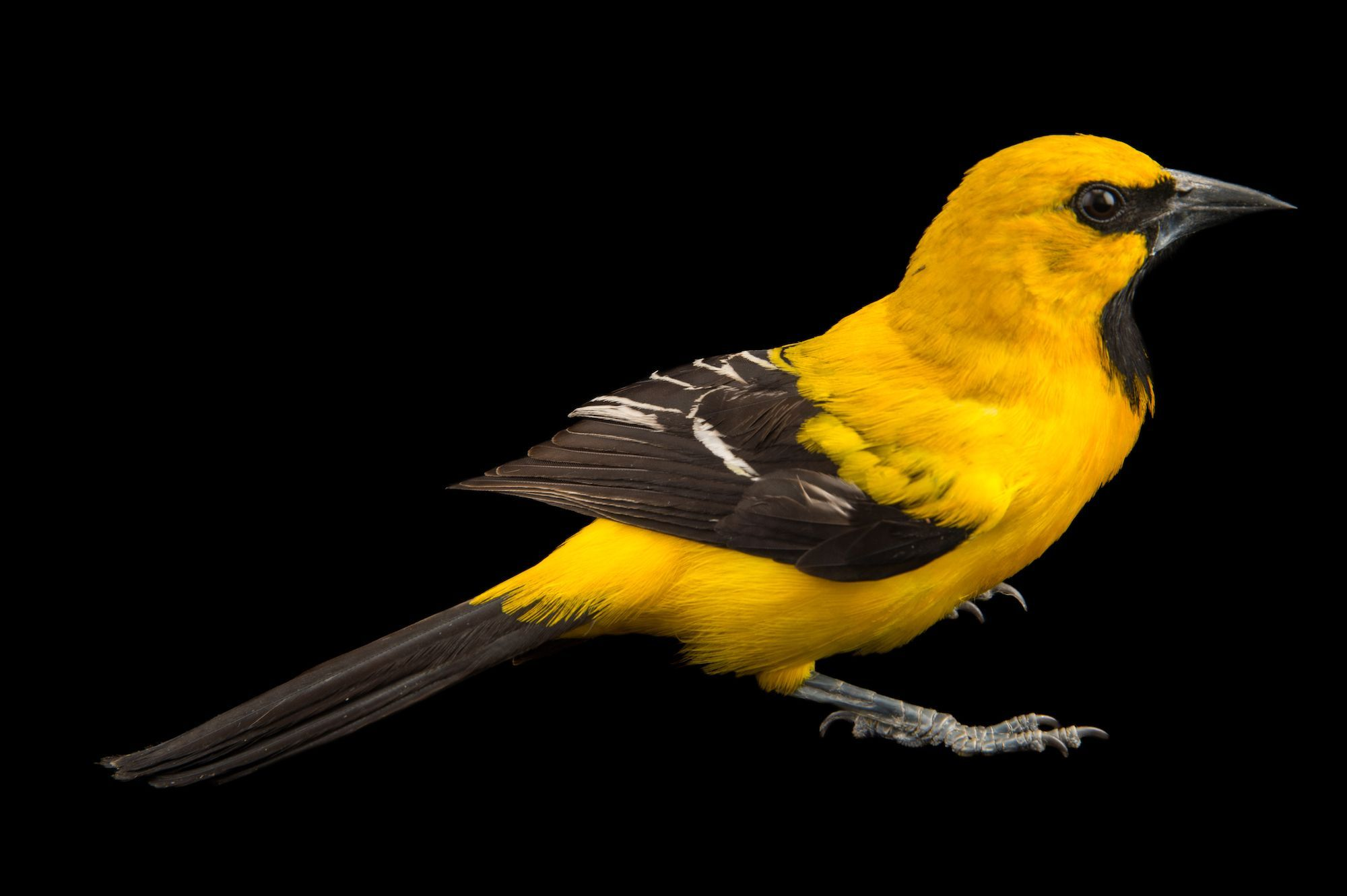 picture about Orioles Printable Schedule named Picture Ark: Yellow Oriole Nationwide Geographic Lifestyle