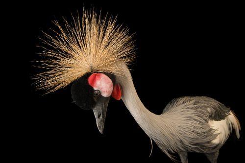 Picture of grey crowned crane at Parc des Oiseaux (2601954)