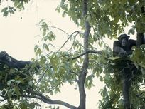 Two male chimpanzees rest among branches in day nests, Gombe Stream National Park, Tanzania.