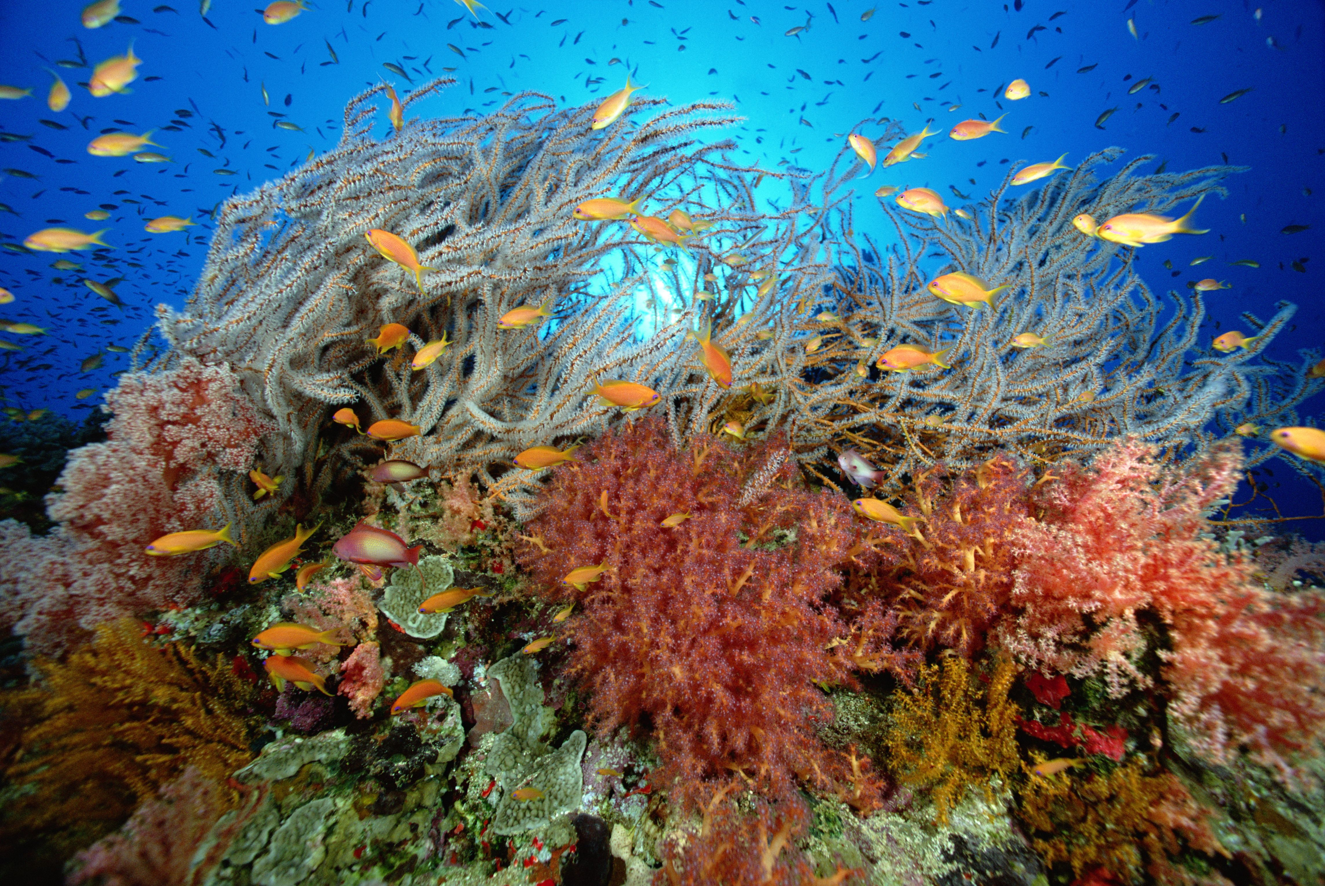 Afinal, os corais são plantas, rochas ou animais?