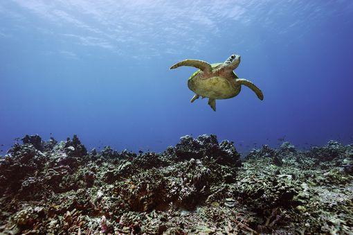 A green sea turtle drifting through the waters of Kanton Island