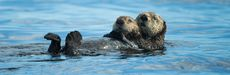 Picture of otters