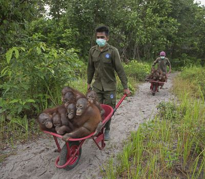 <p>A pair conservation workers gives orphaned orangutans a ride in a wheelbarrows at Borneo&#39;s International Animal Rescue.</p>