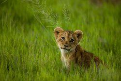 Picture of lion cub