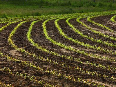Rows of corn sprouting up in a field.; Shutterstock ID 33559183; Project Name: Concord; Reference Code: NGSOC 4875-S25127-65-850-1080; Project Manager: Elaine; Division: Education