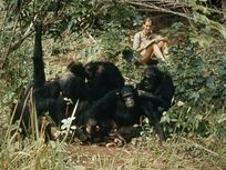 Jane Goodall studies the behavior of wild chimpanzees as they groom in Gombe Stream National Park, Tanzania.