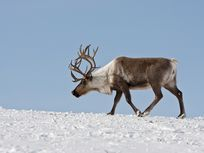 A reindeer trudges across the snow near Kamchatka, Russia.