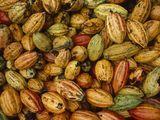 Can GMOs Save Chocolate?
