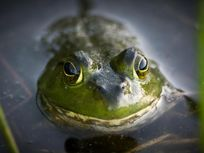 a photograph of a frog in the water at Acadia National Park.