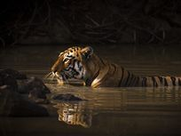 In this image, a Bengal tiger (Panthera tigris tigris) climbs out of a watering hole in a ray of sunlight in Chandrapur, Maharashtra, India.