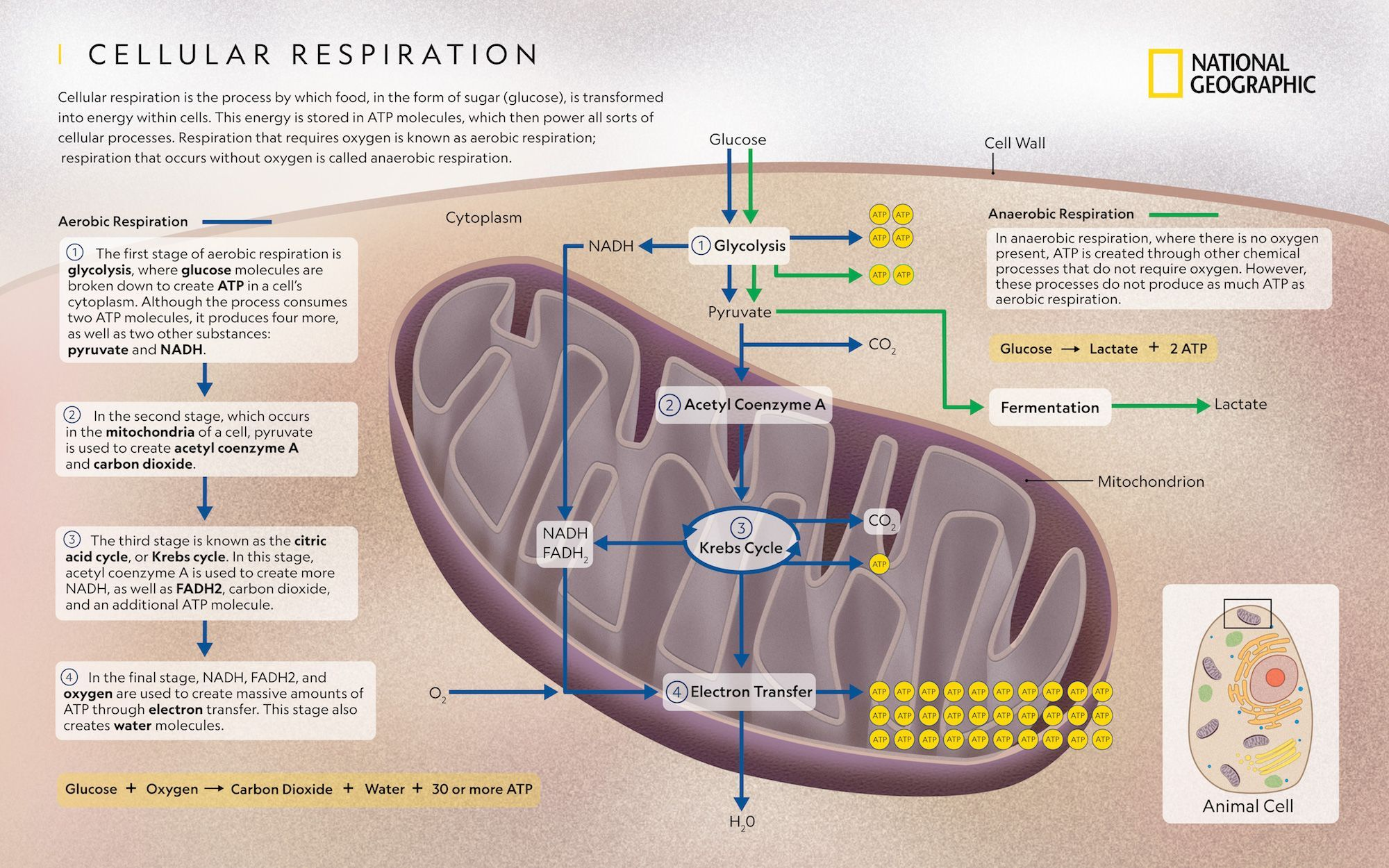 Cellular Respiration National Geographic Society