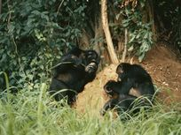 Chimpanzees use stems and twigs to fish termites out of a mound in Gombe Stream National Park, Tanzania. This is an example of tool use.
