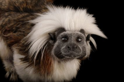 Image of Photo Ark Cotton-top tamarin