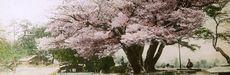 A cherry tree blooms near a bridge in a public garden.