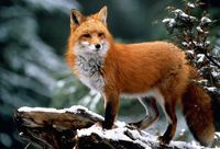 A red fox standing on top of a snow covered branch