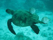 A photograph of a Pacific Green Turtle swims with a couple of striped fish at the French Frigate Shoals.