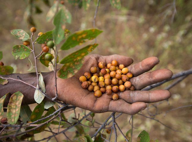Kongolobe Berries