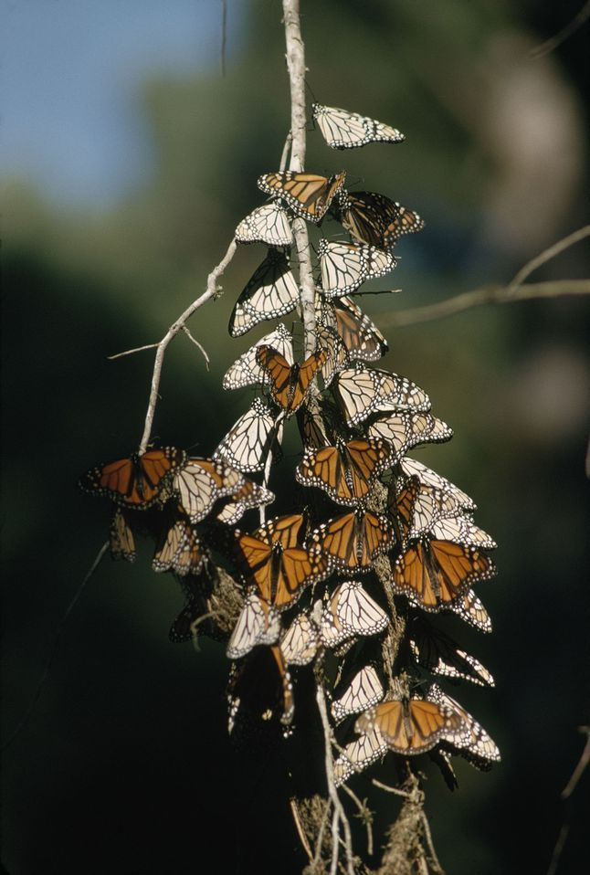 Biodiversity Monarch Butterflies 1015602