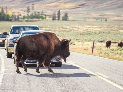 When large animals such as bison cross roads, they put themselves at risk of being hit by oncoming traffic.