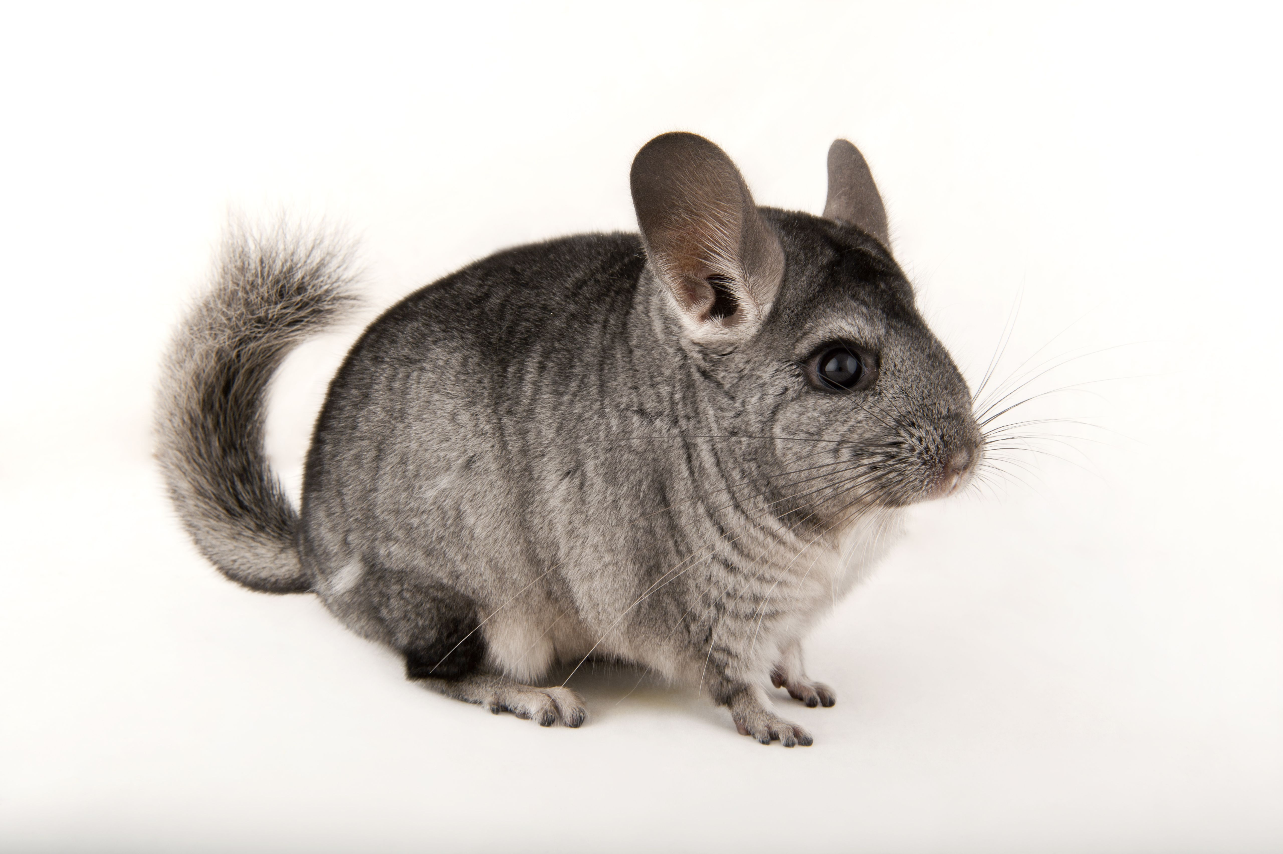 Photo Ark: Long-Tailed Chinchilla | National Geographic Society
