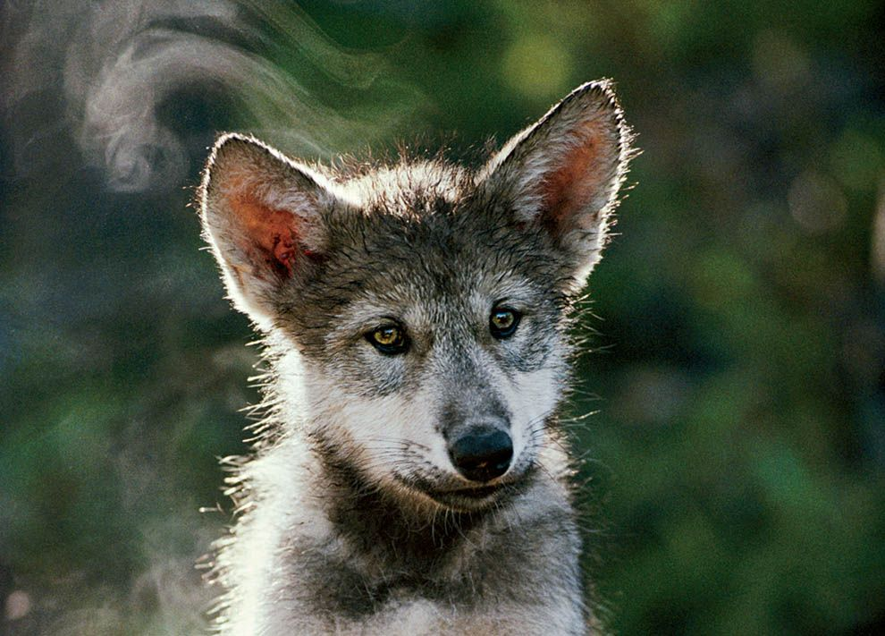 4690db810a Growing Up Wolf | National Geographic Society