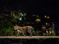 Lit by a camera-trap flash and the glow of urban Mumbai, a leopard prowls the edge of India's Sanjay Gandhi National Park.