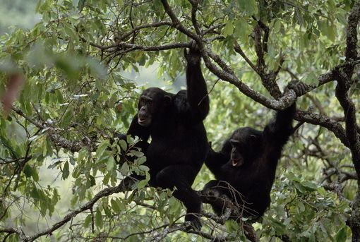 Chimps in a tree
