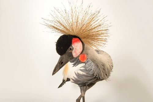 Picture of grey crowned crane at Parc des Oiseaux (2601959)