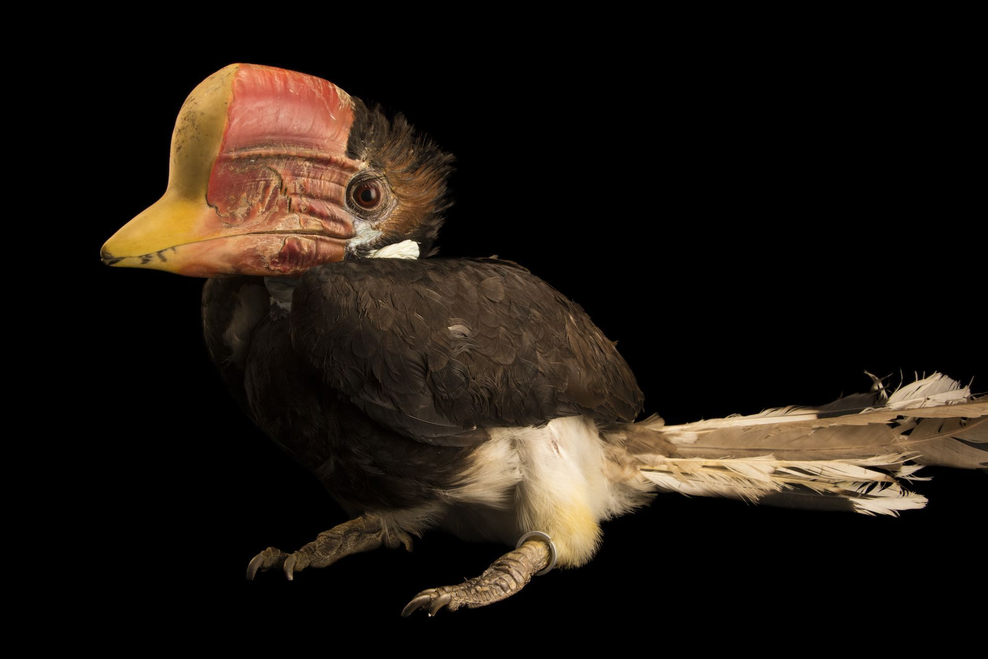 Photo Ark: Helmeted Hornbill | National Geographic Society
