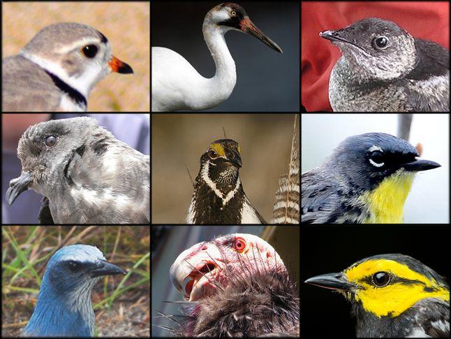 Endangered American Birds