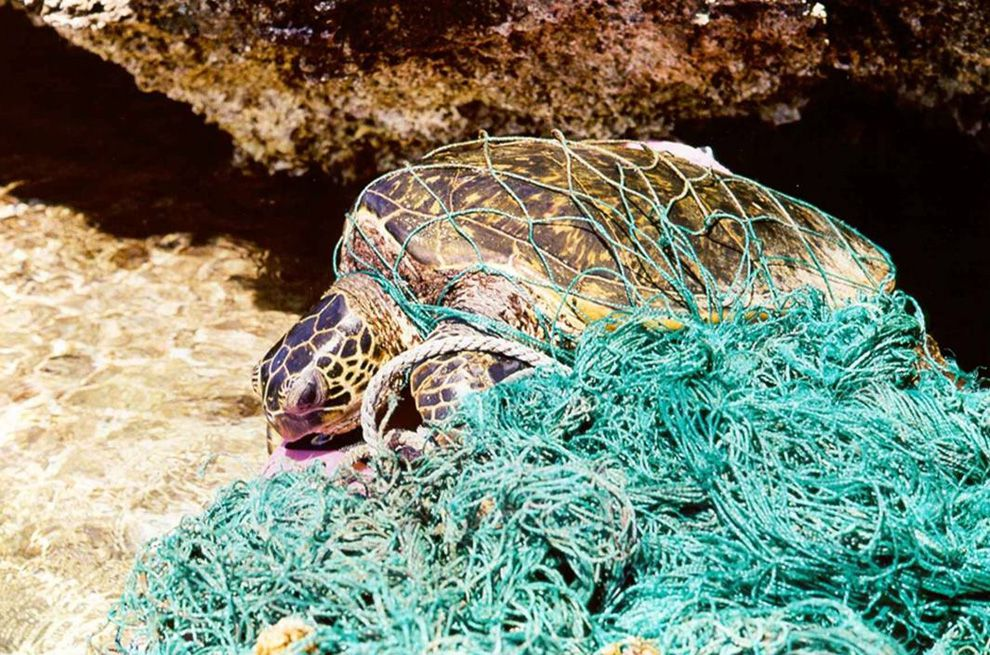 Turtles, too, are put in danger by marine debris. Turtles can easily be entangled in discarded fishing nets or mistake the gelatinous texture of plastic for a jelly, their favorite food. Photograph by NOAA