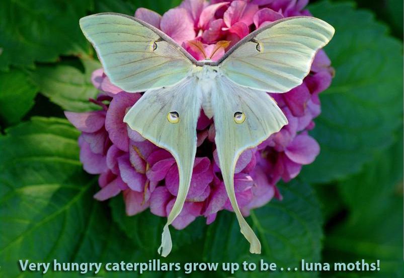 AP luna moth