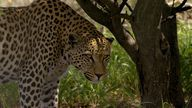 Living with Leopards in Namibia