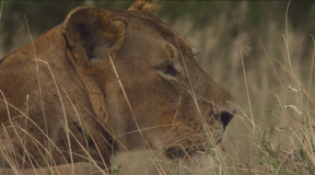 Lion Recovery in Gorongosa National Park