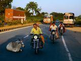 <p>Photo: Men on motorbikes passing a cow lying in the middle of a highway</p>