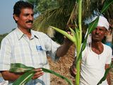 Photo: Popat Rao Pawar examines corn