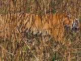 Photo: Camouflaged tiger on the hunt