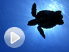 Picture of sea turtle swimming off of Florida's Atlantic coast